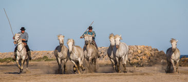 Chevaux blancs de Camargue galopant sur le sable Photo stock
