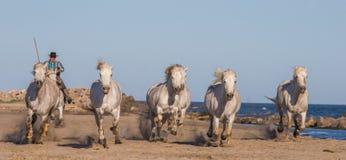 Chevaux blancs de Camargue galopant sur le sable Photographie stock