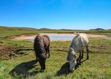 Chevaux blancs et noirs dans le suvÃk de ½ de KrÃ, Seltun, Geopark global, secteur actif géothermique en Islande photographie stock libre de droits