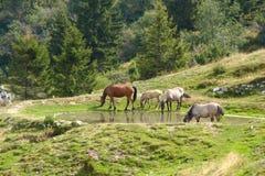 Chevaux buvant dans un lac Photo libre de droits