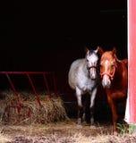 Chevaux curieux dans la grange Images libres de droits