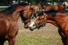 Chevaux d'amour Photographie stock