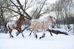 Chevaux d'Appaloosa courant le galop dans la forêt d'hiver Images stock