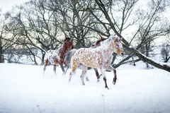 Chevaux d'Appaloosa courant le galop dans la forêt d'hiver Photos libres de droits