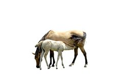 Chevaux d'isolement Photographie stock