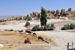 Chevaux dans Cappadocia images stock