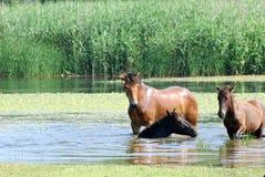 Chevaux dans l'eau Image libre de droits