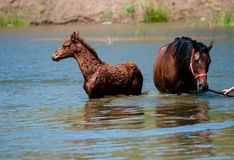 Chevaux dans l'eau Photographie stock