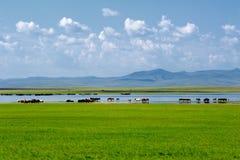 Chevaux dans l'eau de baignade de rivière de steppe Images stock