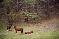 Chevaux dans la forêt Images libres de droits