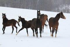 Chevaux dans la neige Photo libre de droits