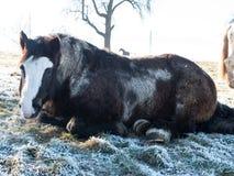 Chevaux dans la neige Photographie stock