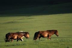 Chevaux dans la steppe Photographie stock libre de droits