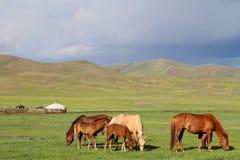 Chevaux dans la steppe mongole Images stock