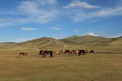 Chevaux dans la steppe mongole Image stock