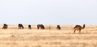 Chevaux dans le pâturage sur la nature Photos libres de droits