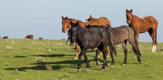 Chevaux dans le pâturage sur la nature Photographie stock libre de droits