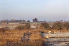 Chevaux dans le pré hivernal dans les zones inondables de la rivière Lek près de Vianen Image stock