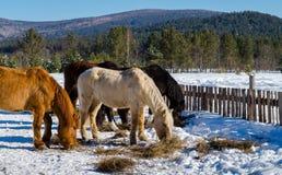 Chevaux dans le village dans les montagnes d'Ural Images stock