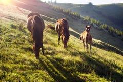 Chevaux dans les Carpathiens brumeux Photo libre de droits