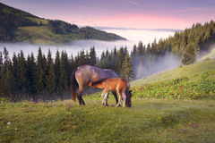 Chevaux dans les Carpathiens brumeux Photographie stock