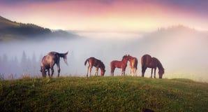 Chevaux dans les Carpathiens brumeux Photo stock