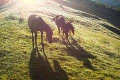 Chevaux dans les Carpathiens brumeux Images stock