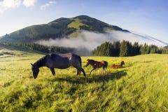 Chevaux dans les Carpathiens brumeux Photos libres de droits