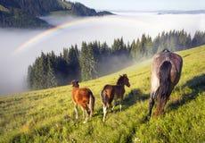 Chevaux dans les Carpathiens brumeux Image libre de droits