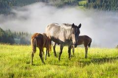 Chevaux dans les Carpathiens brumeux Photographie stock libre de droits
