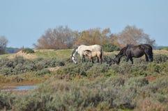 Chevaux dans les marais Image stock