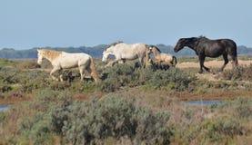 Chevaux dans les marais Photo stock