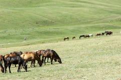 Chevaux dans les montagnes, équin, canassonnes, hoss, entaille, cheval de trait image stock