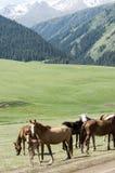 Chevaux dans les montagnes, équin, canassonnes, hoss, entaille, cheval de trait image libre de droits