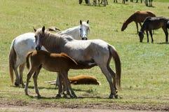 Chevaux dans les montagnes, équin, canassonnes, hoss, entaille, cheval de trait photographie stock libre de droits