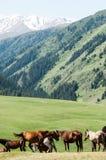 Chevaux dans les montagnes, équin, canassonnes, hoss, entaille, cheval de trait photos libres de droits