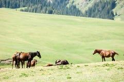 Chevaux dans les montagnes, équin, canassonnes, hoss, entaille, cheval de trait images libres de droits
