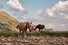 Chevaux dans les montagnes photos stock
