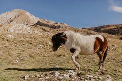 Chevaux dans les montagnes de Monténégro photographie stock libre de droits