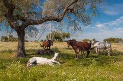 Chevaux dans les pâturages complètement des chênes Journée de printemps ensoleillée en Estrémadure, l'Espagne image libre de droits