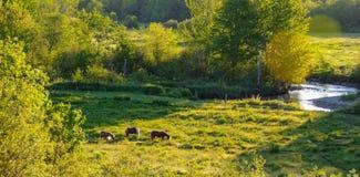Chevaux dans un pré de pâturage près de Greenwood, Nova Scotia Photographie stock libre de droits