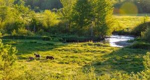 Chevaux dans un pré de pâturage près de Greenwood, Nova Scotia Image libre de droits