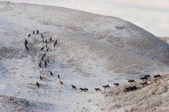 chevaux de 1 troupeau Image libre de droits