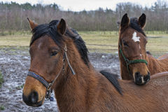 Chevaux de Brown Images libres de droits