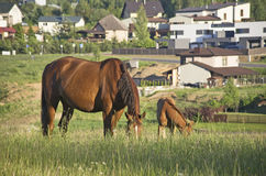 Chevaux de Brown mangeant l'herbe Photographie stock libre de droits