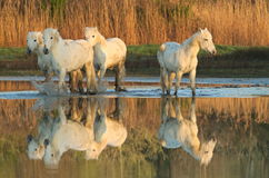 Chevaux de Camargue Photo libre de droits