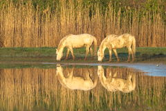 Chevaux de Camargue Photo stock