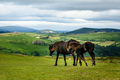 Chevaux de Dartmoor Images stock