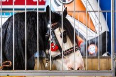 Chevaux de diverses races à l'exposition des chevaux Photos libres de droits