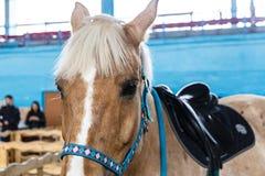 Chevaux de diverses races à l'exposition des chevaux Images stock